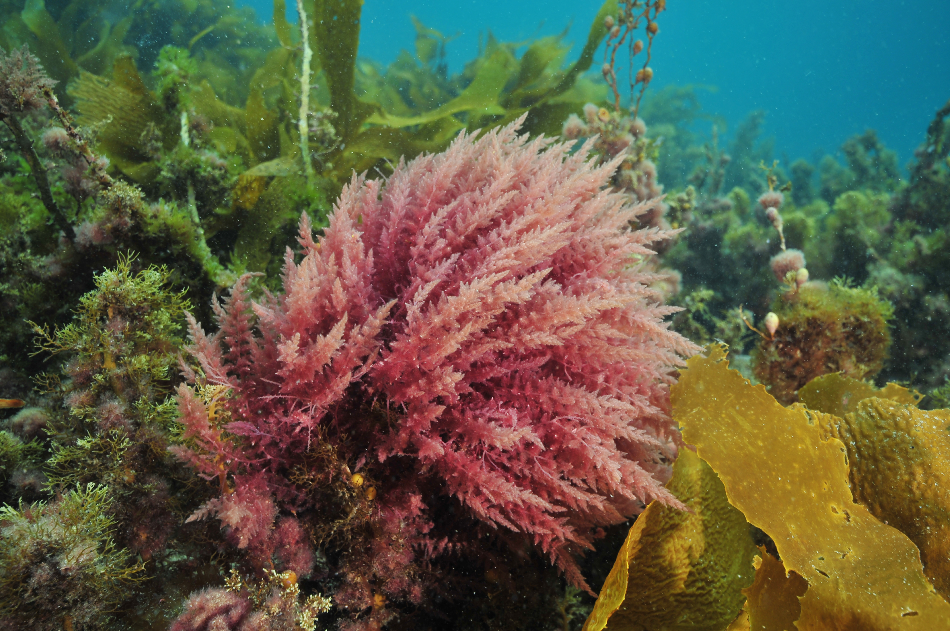 Bright colours of various sea weeds (algae) under surface of temperate southern Pacific ocean.