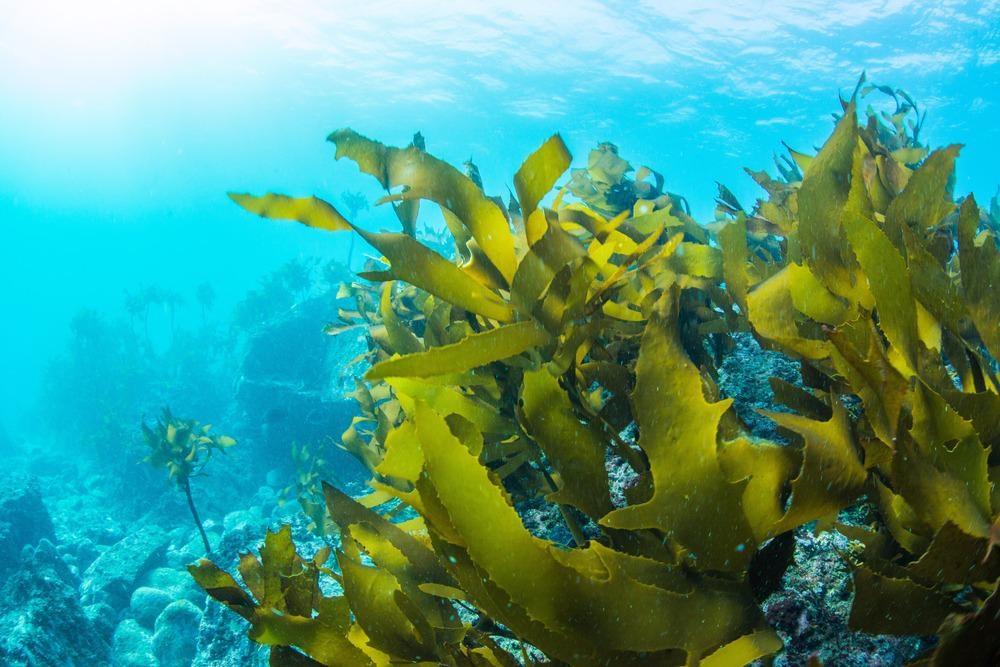 sea kelp