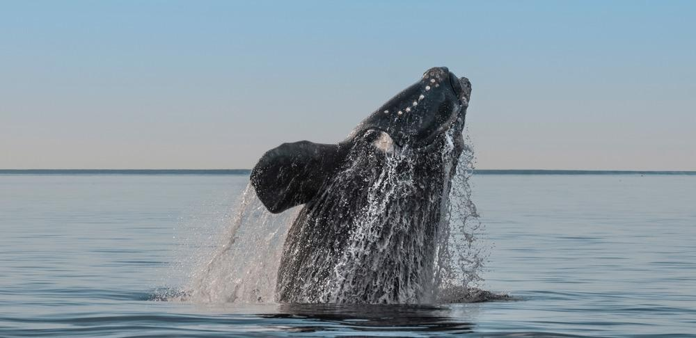 north atlantic right whale, endangered whale species