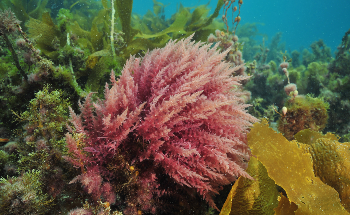 Symbrosia's Seaweed Feed Supplement for Methane Reduction