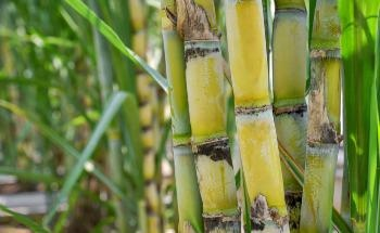 Sugarcane and the Creation of Carbon-Negative Hydrogen