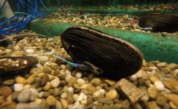How Mussels can be Monitored to Indicate Aquatic Toxins