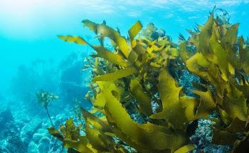 Cutting Down on Carbon with the Help of Sea Kelp