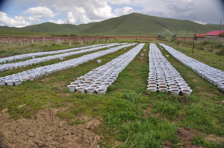 A soil seed bank germination experiment in the field consists of collected soil samples, which are spread on pots of sand. As seeds germinate, lead author Miaojun Ma counts and identifies the seedlings