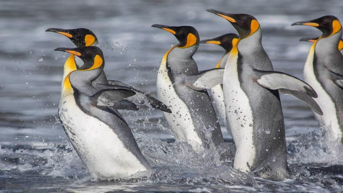 King penguins live on the edge of the Antarctic and thus react sensitively to environmental changes.