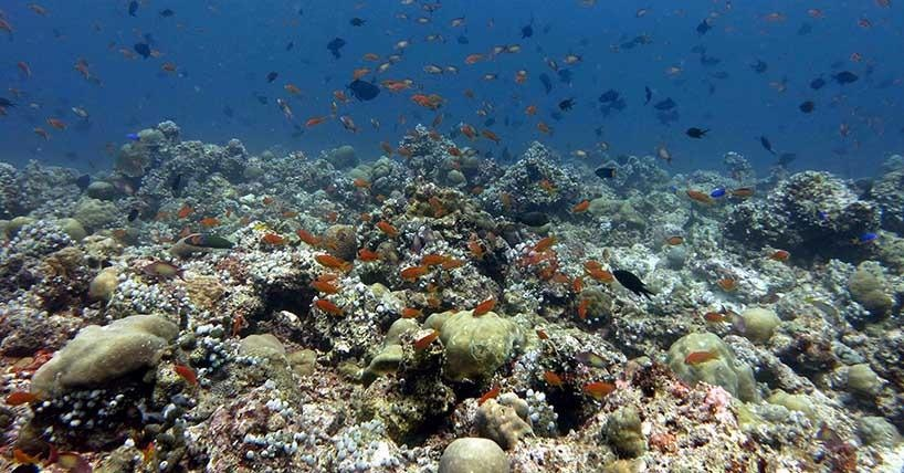 Plankton-feeding fishes often dominate the fish assemblage on oceanic coral reefs.