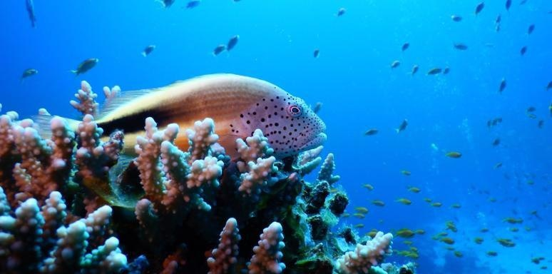 Northern Red Sea, Gulf of Aqaba Corals Exhibit High Tolerance to Higher Temperatures