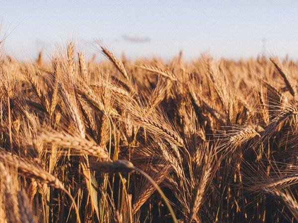 Effective Adaptation can Counter the Effect of Climate Change on Crop Yield.