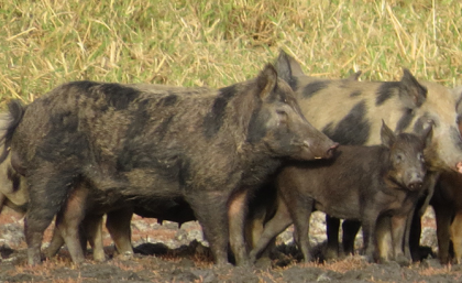 Study Pinpoints Climate Damage due to Wild Pigs Across Five Continents