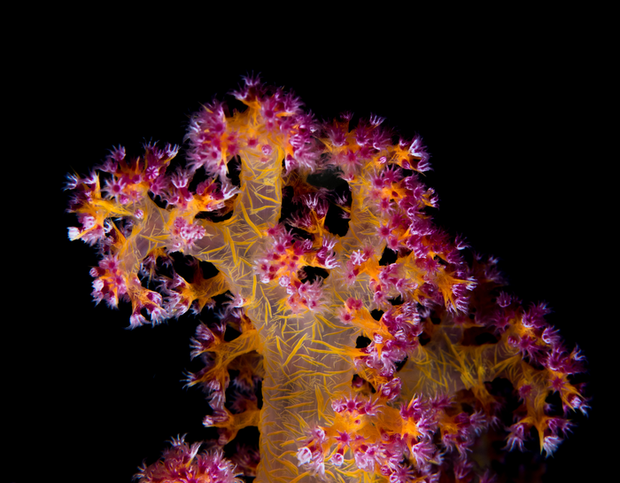 Beneficial Micro-Organisms for Corals can Increase Survival After Bleaching.