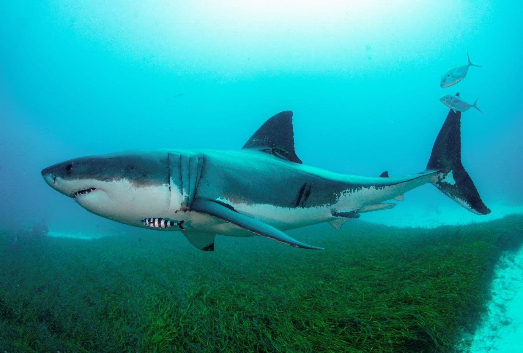 Threatened Shark Species 'Out of Sight Out of Mind': First Complete National Assessment of Australia's Sharks and Rays