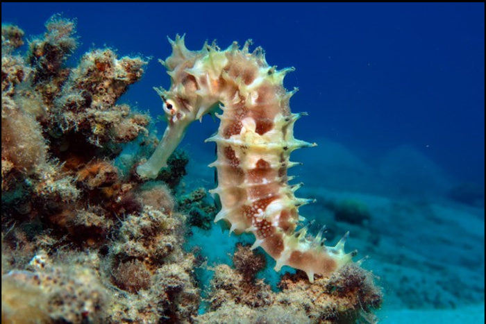 Study Reveals Unique Ability of Seahorses to Snag Prey at Exceptional Speed.