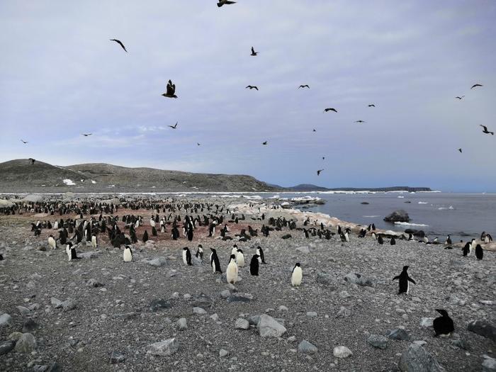 Analysis of Penguin Guano Reveals Link Between Antarctic Ocean Circulation and Ecosystem Changes