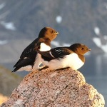 How Are Birds In The Arctic Dealing With Global Warming?