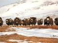 Wildlife Conservation Society Launches New Study of Musk Ox
