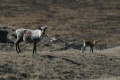 Fewer Caribou Calves are Dying in West Greenland as a Result of a Warming Climate