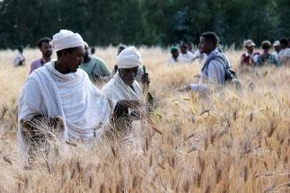 New Approach to the Selection of Crop Varieties Turns Farmers into Citizen Scientists