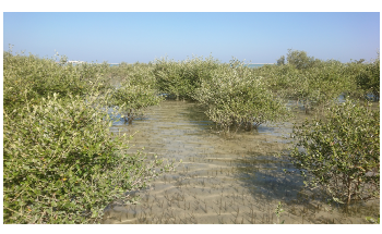 Study Shows Climate Change Accounts for Disappearance of Mangroves in Oman