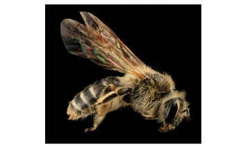 Abundance and Diversity of Wild Bees Affected by Climate Change