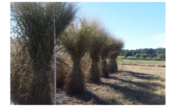 Study Performs Genome Analysis of Switchgrass, a Potential Biofuel Crop