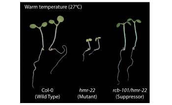 Discovery of Heat-Sensing Gene in Plants Could Help Tune Their Temperature Response