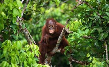 Study Highlights the Need to Protect Habitat of Wild Orangutans