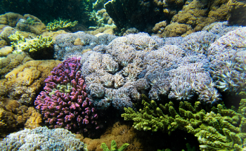 Soft Corals, Hard Problem: New Technique will Reveal Corals Vulnerable to Bleaching