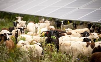 Study States Grazing Under Arrays Would Support Economy and Climate